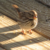 Song Sparrow with Cracked Corn