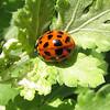 Ladybug on Heritage Chrysanthemum