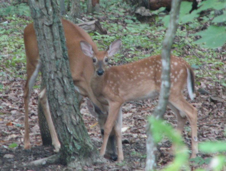 Mama and Fawn_2