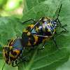 Top Design of Harlequin Bugs Mating on Salvia<br /> These bugs prefer the cabbage family, but our garden doesn't include vegetables so they enjoyed cleomes.