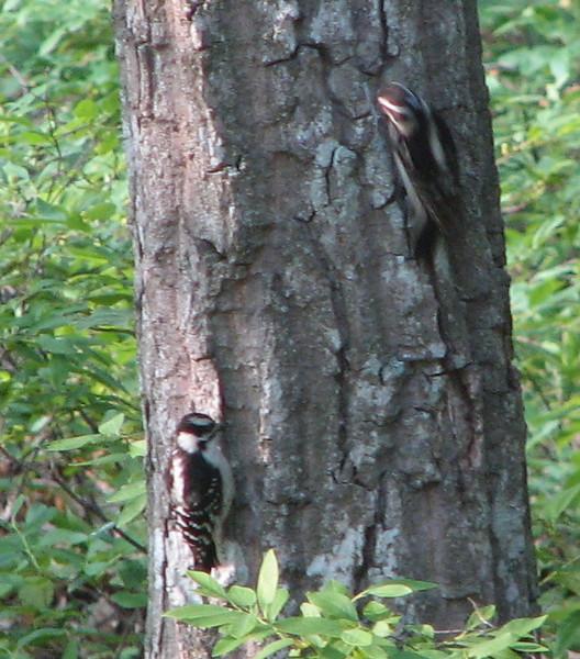 Downy Woodpecker Babies - May 30