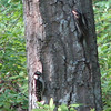 Downy Woodpecker Babies - May 30
