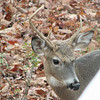 Deer - Young Buck - Notice Odd Antlers