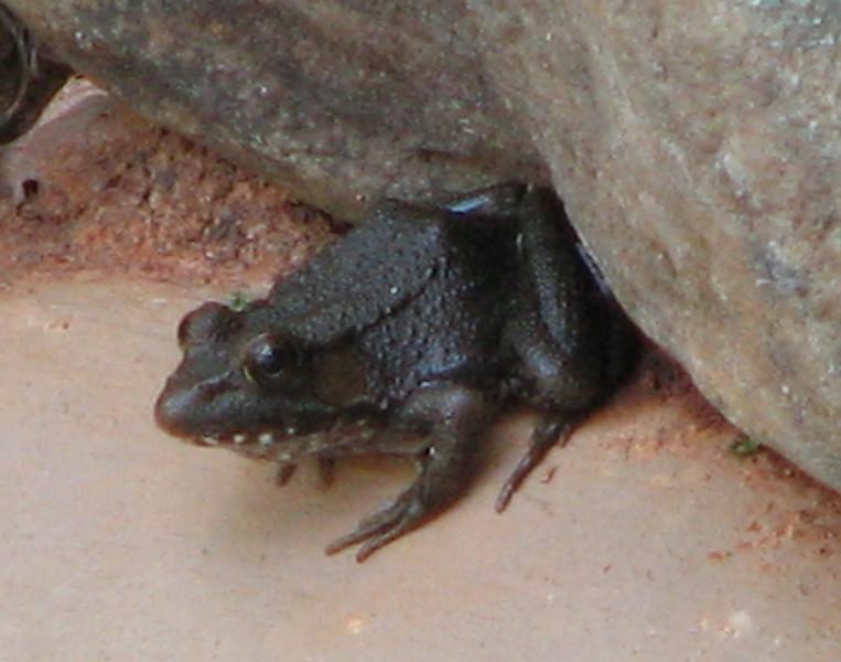 Green Frog_2