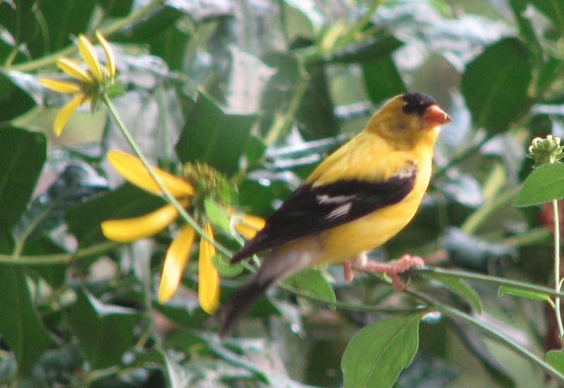 Goldfinch on Coneflower