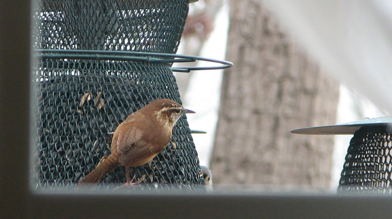 Bird View From Office - Wren