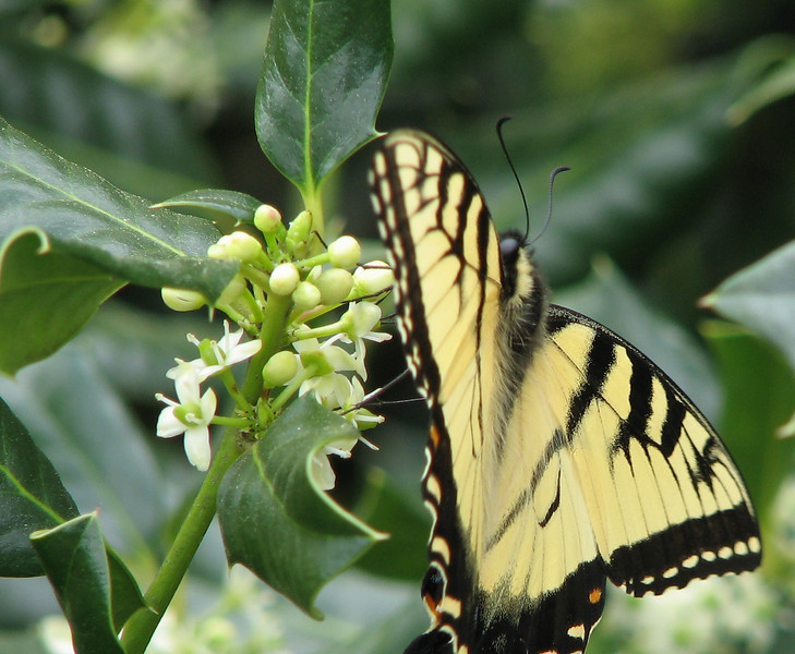 Sipping Holly Flower Nectar - First Eastern Tiger Swallowtail This Year - Male - April 4