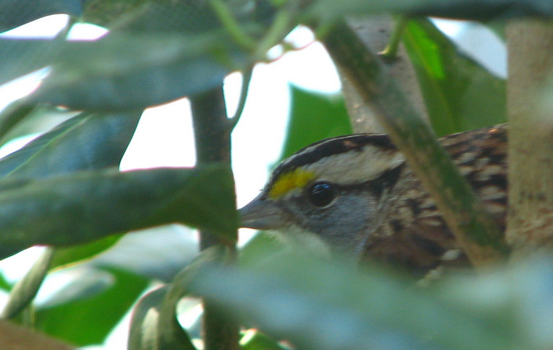 White-throated Sparrow Hidden In Holly At Kitchen Window