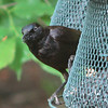 Grackle on Feeder