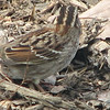 Close-up of Side Color Pattern - White-throated Sparrow - Adult Tan Striped