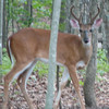 Young Buck Deer In Backyard