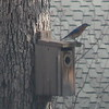 Eastern Male Bluebird on Our Most Popular Bluebird Box