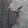 Eastern Male Bluebird on Our Most Popular Bluebird Box