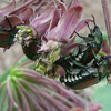 Japanese Beetles on Milkweed Flowers
