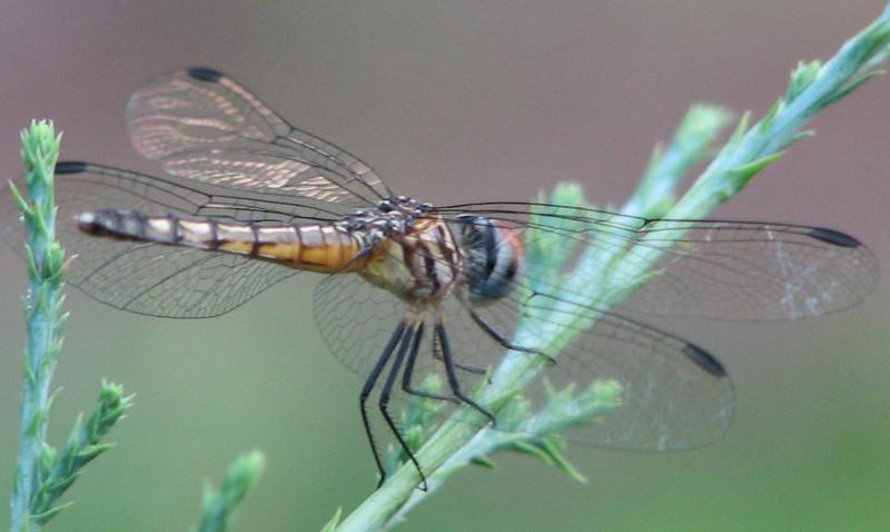 Dragonfly on Cedar_3