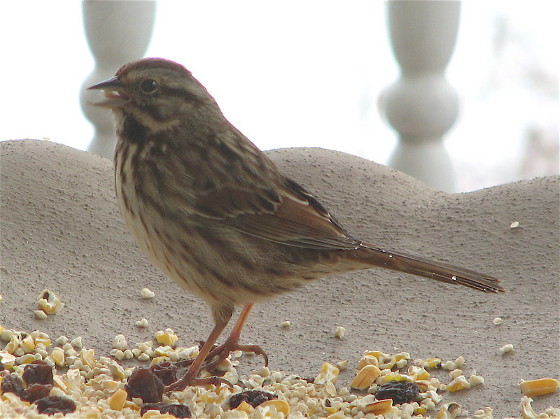 Song Sparrow Likes the Millet