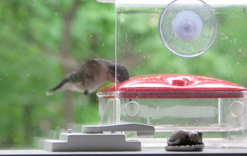 Female Ruby-throated Hummingbird Feeding - Tiny Feet - May 18