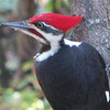 Pileated Woodpecker, Male With Red Mustache_4