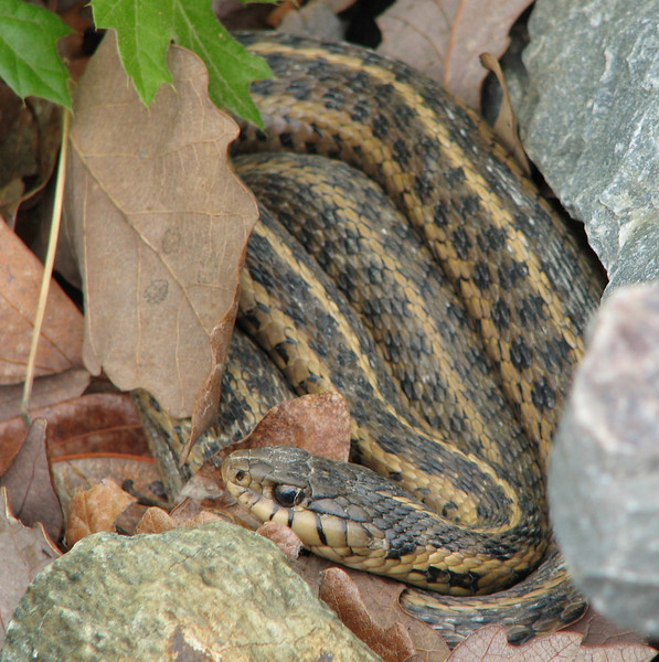 Adult Garter Snake in Rocks