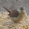 What a Look - What Is The Wren Saying
