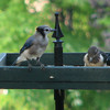 Juvenile Blue Jay and Red-headed Woodpecker