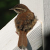 Wren Fledgling - May 2007_5