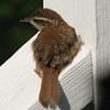 Wren Fledgling - May 2007_5