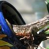 Eastern Fence Lizard in Teapot Nest