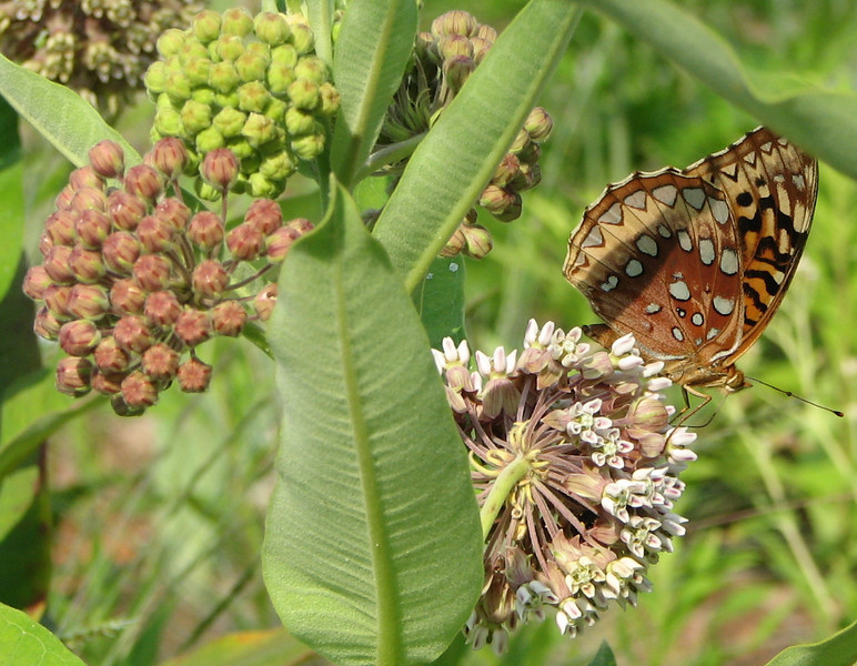 Various Stages of Common Milkweed Blooms - Great Spangled Fritillary