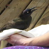Common Grackle Is 11-13 Inches Long With Females Being a Bit Shorter - March 26
