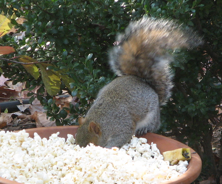 Diving Squirrel Likes The Sunflower Seeds Under Popcorn