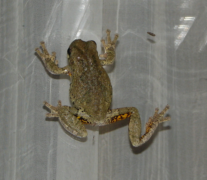 Yum Yum Bugs Are Good For This Eastern Gray Tree Frog On Our Deck Door Window At Night