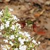 Front View - Hummingbird Moth - Hemaris thysbe