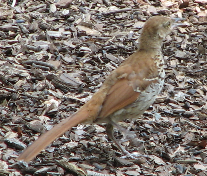 Molting Brown Thrasher_4
