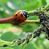 The Balance of Nature - 7-spotted Ladybug and Aphids