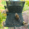 American Goldfinches On Feeders Outside Office