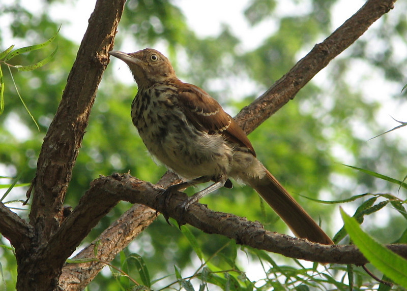 Brown Thrasher in Black Willow Tree