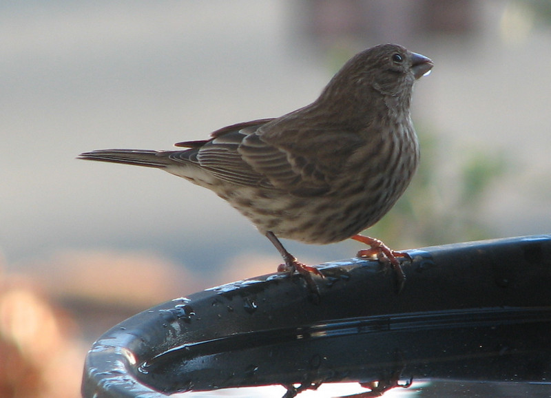 Female House Finch Drinking on Front Porch