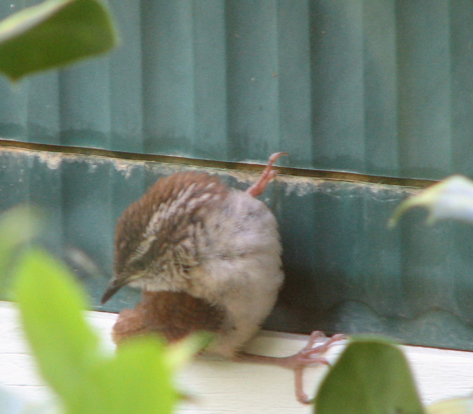 Baby Wren - What's Your Title?