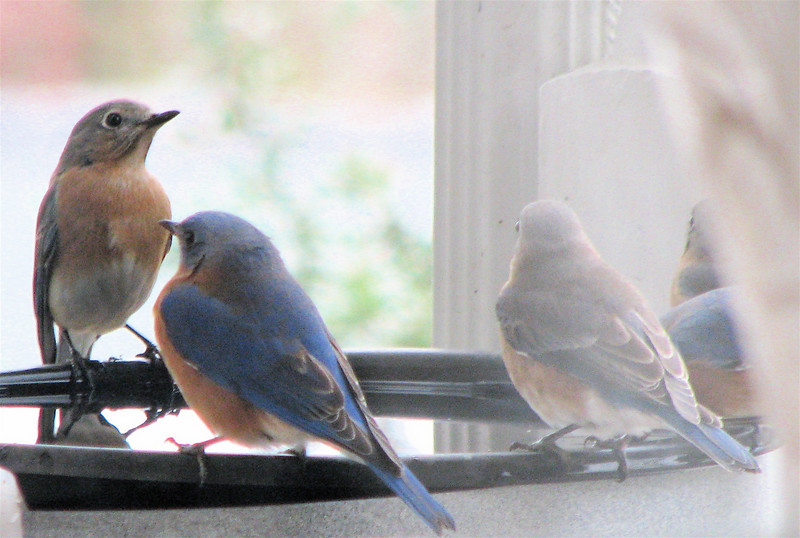 View From Dining Room - 5 Bluebirds Getting Water