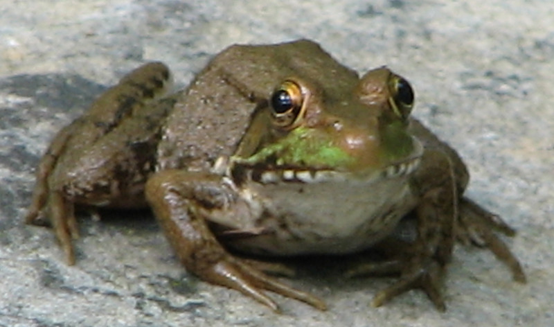 Green Frogs Have Such Huge Eyes