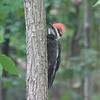 Juvenile Pileated Woodpecker