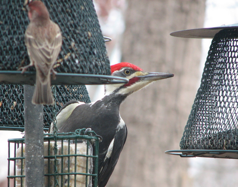 Pileated Woodpecker at Suet_3