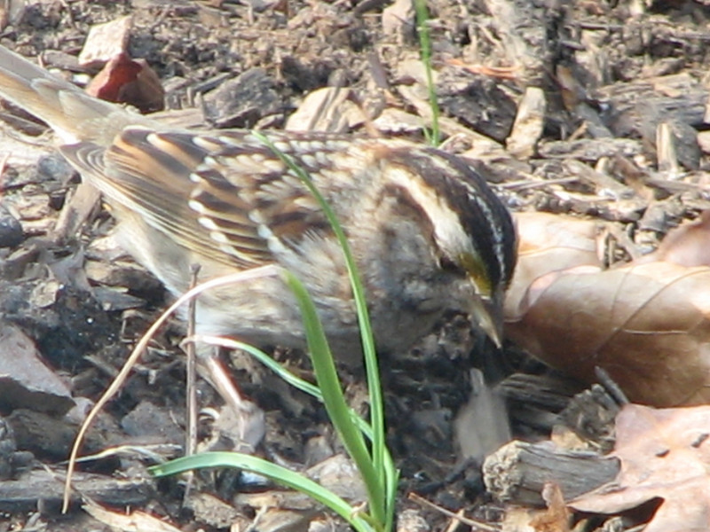 White-throated Sparrow - Adult Tan Striped