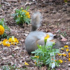 Squirrel Belly Is Full, So It's Time for a Roll in the Marigolds