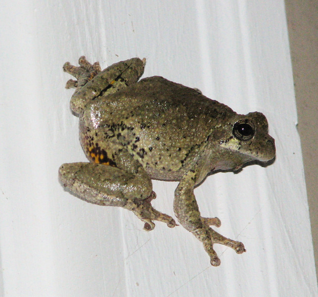 Eastern Gray Tree Frog or Hyla versicolor