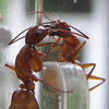 Two Ants Outside of Hummingbird Feeder - Are They Sharing Something