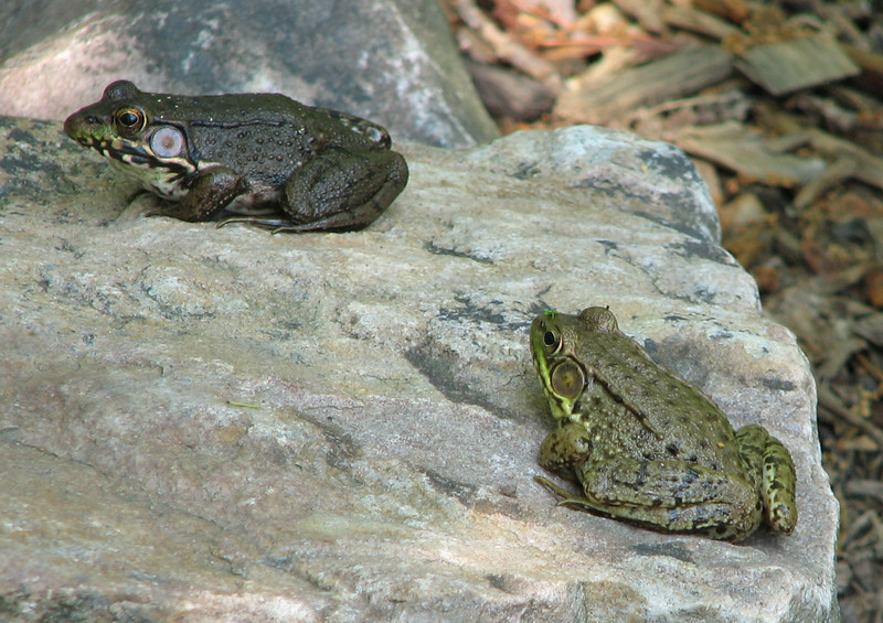 Green Frogs - Female on Left and Male on Right