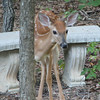 Fawn Watching Me From Pond