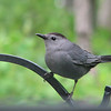 Gray Catbird in Rear  5-4-07